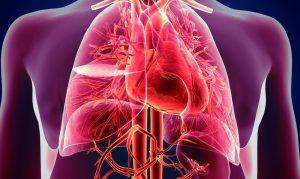 Herz-Kreislauf System
